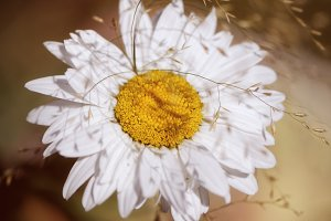 White flower daisy in vintage tones
