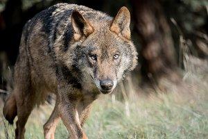 Iberian wolf running