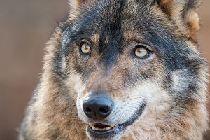 Iberian wolf with beautiful eyes