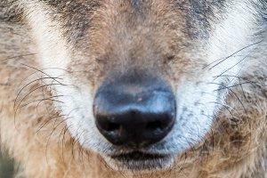 Cute iberian wolf portrait