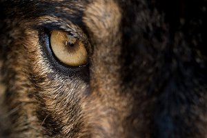 Eye of iberian wolf