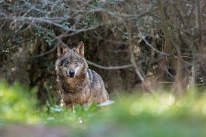 Female iberian wolf in the forest
