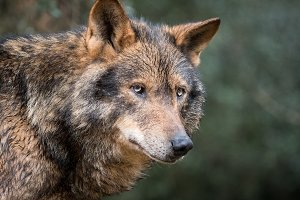 Handsome iberian wolf portrait