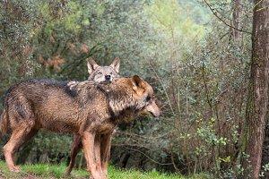 Tender couple of iberian wolves