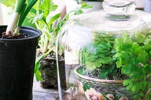 Potting spring greens