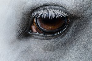 Eye of light gray horse
