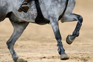 Legs of running gray horse