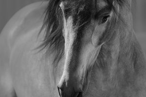 Portrait of Andalusian horse