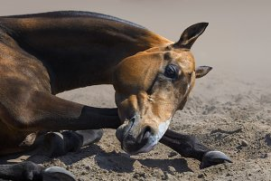 Akhal-teke stallion rolls in sand
