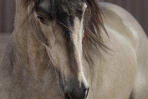 Buckskin Andalusian horse