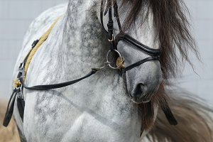 Horse with long dark gray forelock