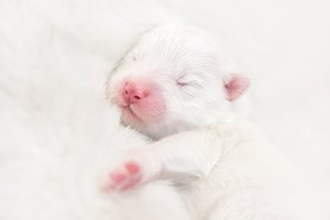 Newborn white puppy