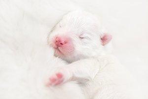 Newborn white puppy