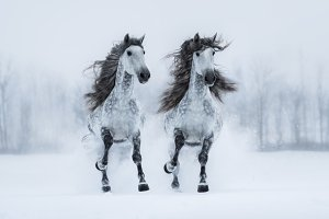 Two long-maned Andalusian stallions