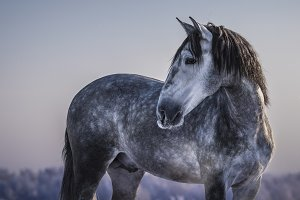 Portrait of gray Andalusian horse