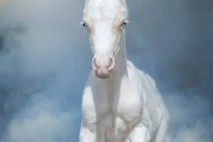 Cream Welsh pony foal