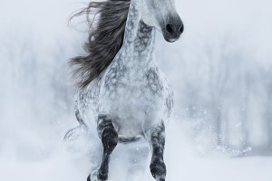 Andalusian stallion in winter.