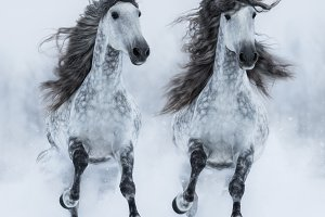 Two Andalusian stallions in winter.