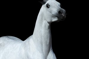 Light gray Arabian horse