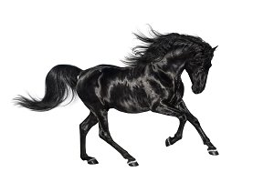 Black Andalusian stallion isolated