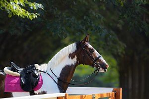 Pinto horse with bridle and saddle