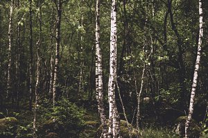 Birch Tree Forest (Dark and Moody)