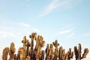Cactus Plants Against the Blue Sky