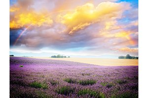 Lavender blooming field