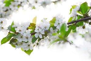 cherry twigs in bloom