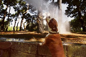 boxer dog drinking from a hose