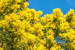 Blooming of mimosa tree