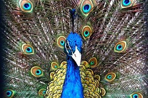 Peacock in Splendor