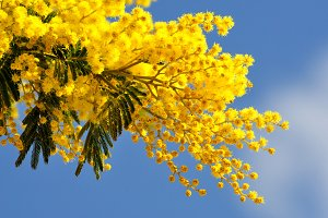 Mimosa tree branches