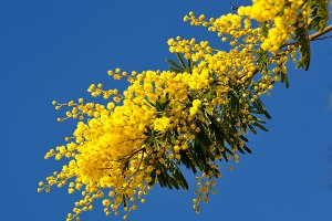 Mimosa and blue sky