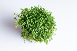 Spring Green Plant