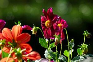 Multicolored Dahlias