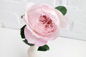 Peony rose flower