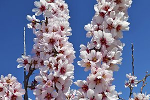 branch of a flowering almond tree