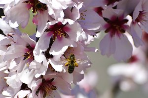 bee on a flower of almond