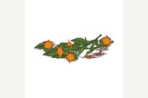 Isolated clipart Safflower