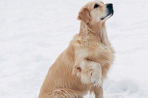 Photo of sitting labrador on winter walk