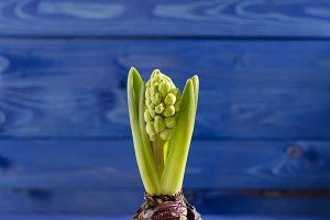 hyacinth in a white cup