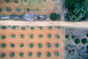 Aerial view of an olive field
