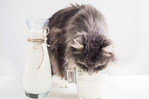 Cute, gray cat drinking fresh milk