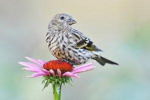 BIRD 1 Pine Siskin