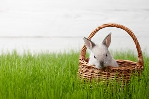 Easter bunny in basket on grass back