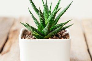 Haworthia succulent close up in pot.