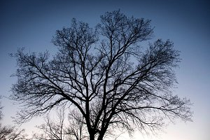 Tree Silhouette at Sundown