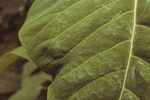 Natural big green tropical leaves