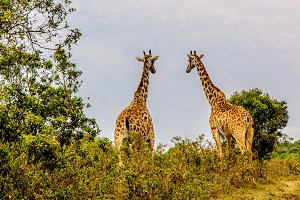 Two Giraffes in Conversation